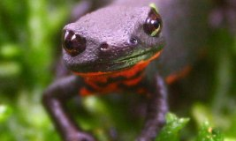 black newt photo